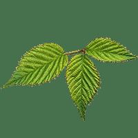Photo of Blackberry Leaf