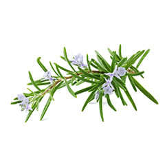 Photo of Rosemary Leaf Extract